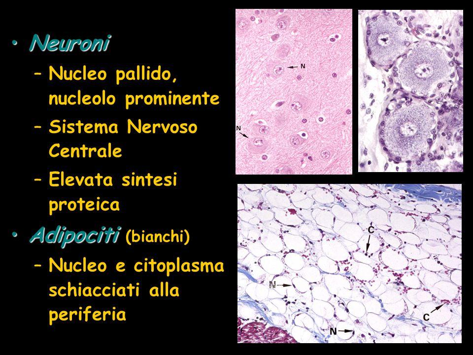 NeuroniNeuroni –Nucleo pallido, nucleolo prominente –Sistema Nervoso Centrale –Elevata sintesi proteica AdipocitiAdipociti (bianchi) –Nucleo e citopla