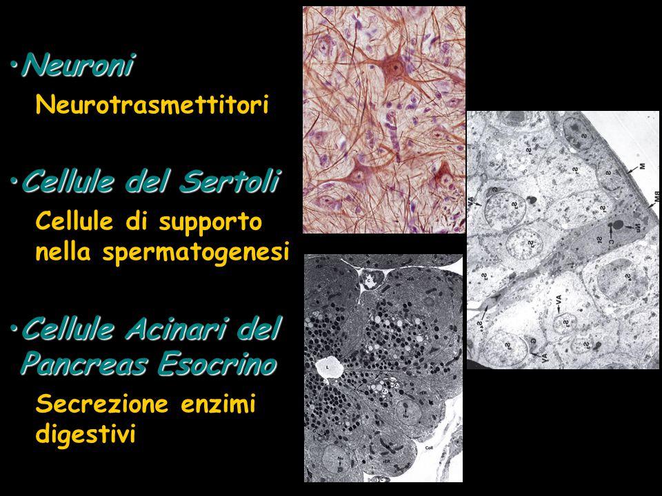NeuroniNeuroni Neurotrasmettitori Cellule del SertoliCellule del Sertoli Cellule di supporto nella spermatogenesi Cellule Acinari del Pancreas Esocrin