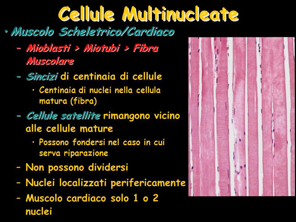 Cellule Multinucleate Muscolo Scheletrico/CardiacoMuscolo Scheletrico/Cardiaco –Mioblasti > Miotubi > Fibra Muscolare –Sincizi –Sincizi di centinaia d