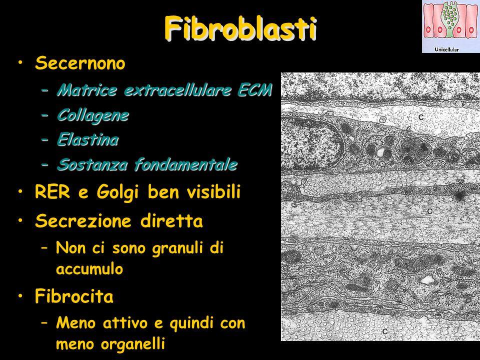 Fibroblasti Secernono –Matrice extracellulare ECM –Collagene –Elastina –Sostanza fondamentale RER e Golgi ben visibili Secrezione diretta –Non ci sono
