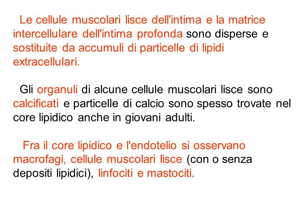 Le cellule muscolari lisce dell'intima e la matrice intercellulare dell'intima profonda sono disperse e sostituite da accumuli di particelle di lipidi