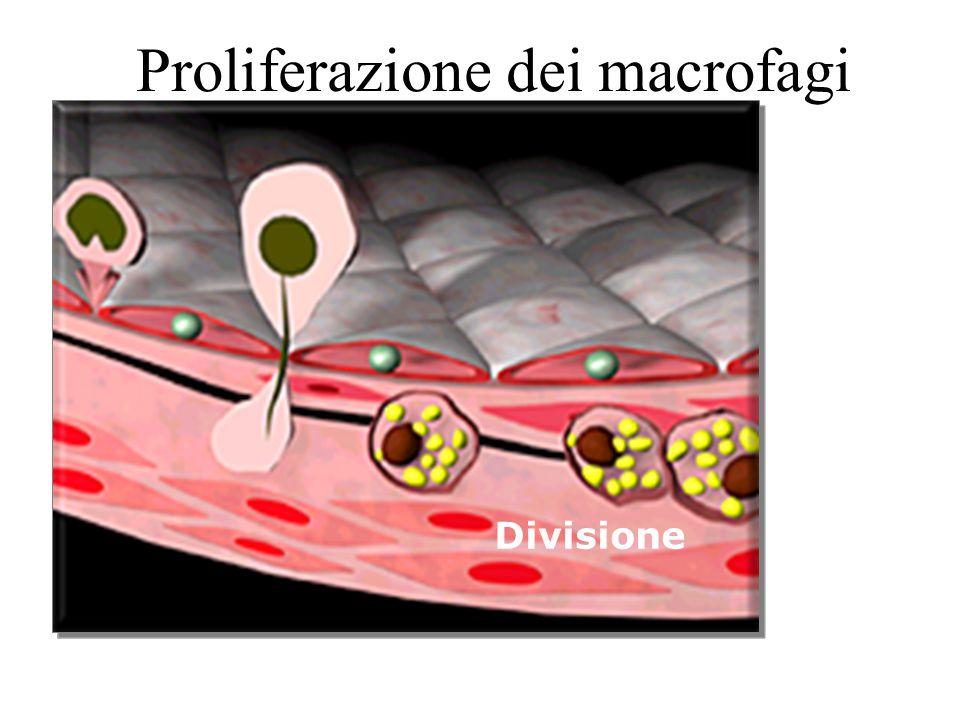 Proliferazione dei macrofagi Divisione