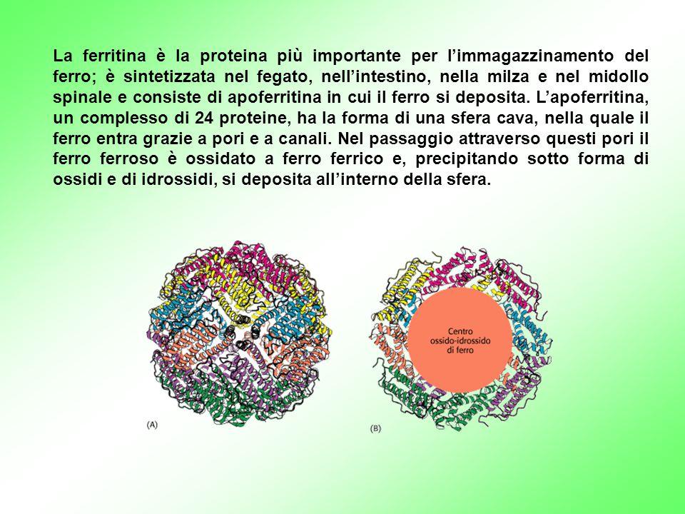 La ferritina è la proteina più importante per l'immagazzinamento del ferro; è sintetizzata nel fegato, nell'intestino, nella milza e nel midollo spina