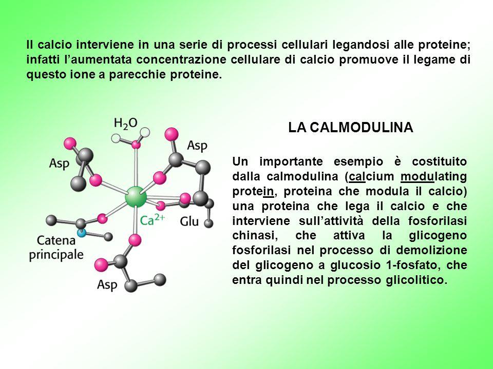 Un importante esempio è costituito dalla calmodulina (calcium modulating protein, proteina che modula il calcio) una proteina che lega il calcio e che