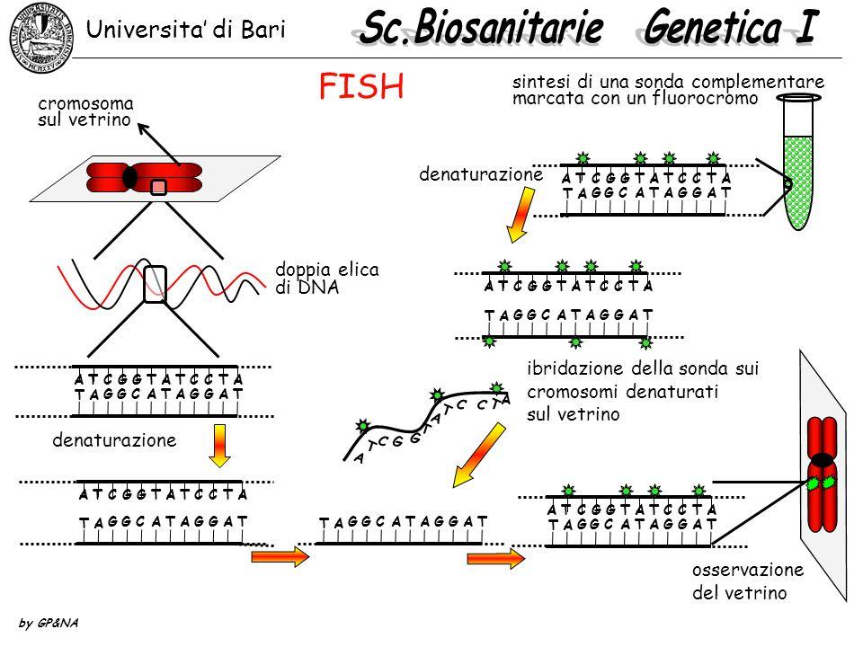 Universita' di Bari by GP&NA doppia elica di DNA ATCGGTATCCTA T A GGCATAGGAT osservazione del vetrino ATCGGTATCCTA T A GGCATAGGAT denaturazione cromosoma sul vetrino sintesi di una sonda complementare marcata con un fluorocromo ibridazione della sonda sui cromosomi denaturati sul vetrino A T C G G T A T C C T A ATCGGTATCCTA T A GGCATAGGAT T T A GGCATAGGA FISH ATCGGTATCCTA T A GGCATAGGAT ATCGGTATCCTA T A GGCATAGGAT denaturazione