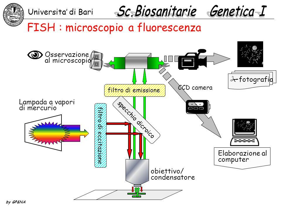 Universita' di Bari by GP&NA  filtro di emissione specchio dicroico filtro di eccitazione obiettivo/ condensatore    fotografia CCD camera Lampada a vapori di mercurio Elaborazione al computer FISH : microscopio a fluorescenza  Osservazione al microscopio