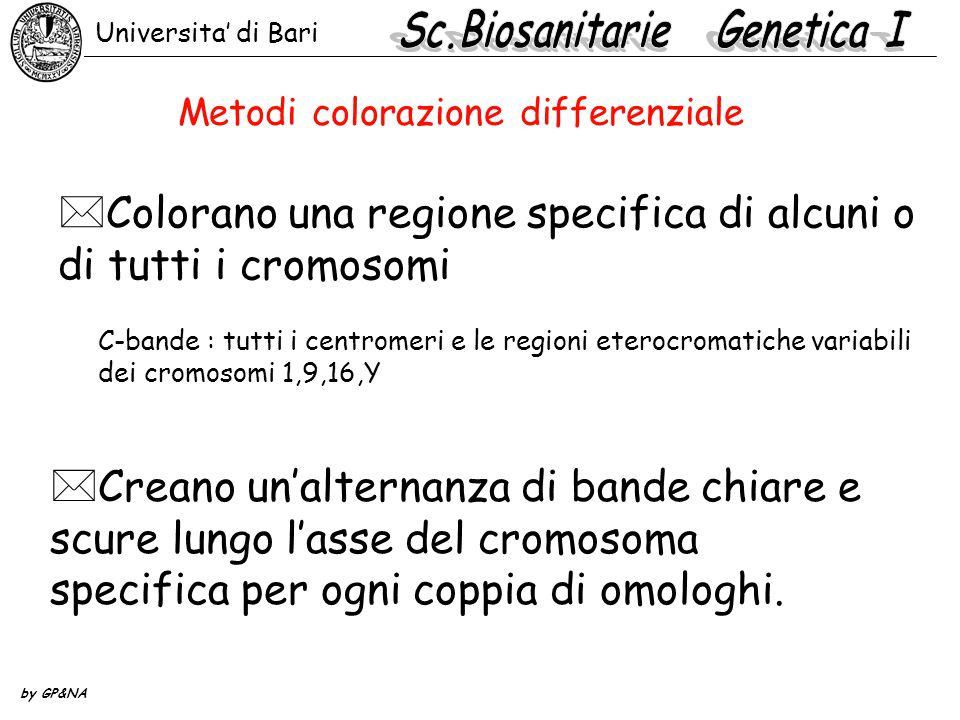*Creano un'alternanza di bande chiare e scure lungo l'asse del cromosoma specifica per ogni coppia di omologhi.