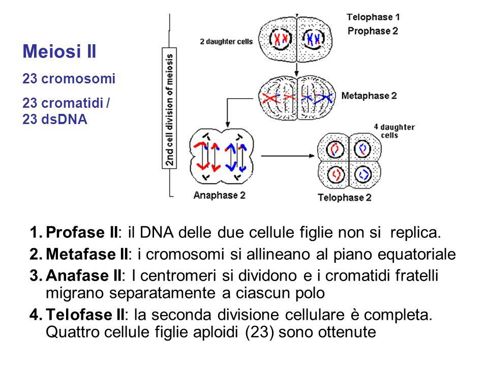 1.Profase II: il DNA delle due cellule figlie non si replica. 2.Metafase II: i cromosomi si allineano al piano equatoriale 3.Anafase II: I centromeri