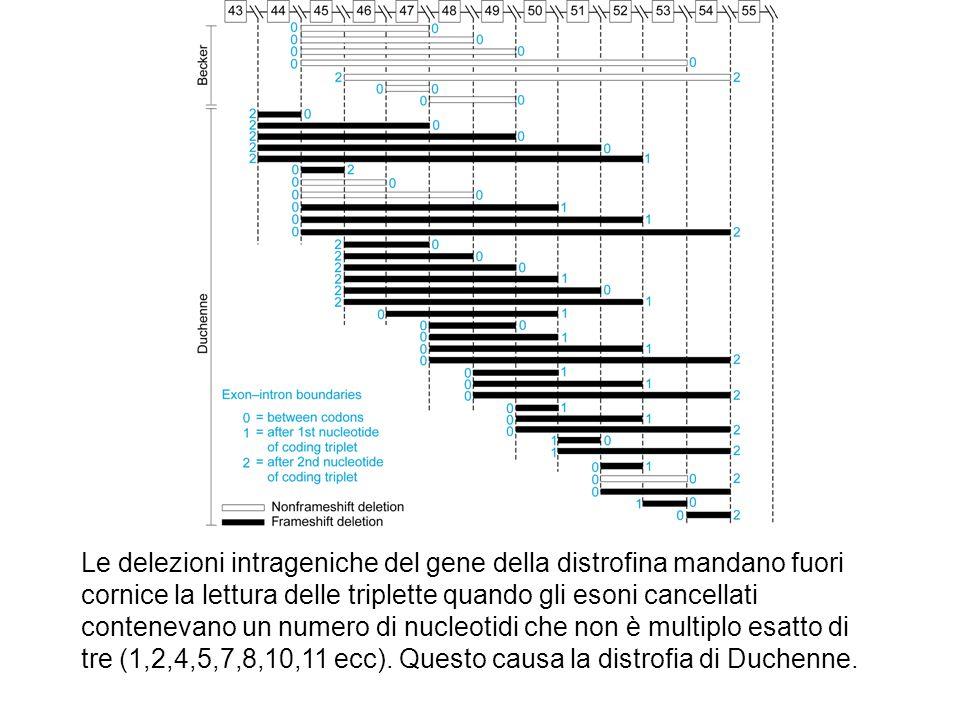 Le delezioni intrageniche del gene della distrofina mandano fuori cornice la lettura delle triplette quando gli esoni cancellati contenevano un numero
