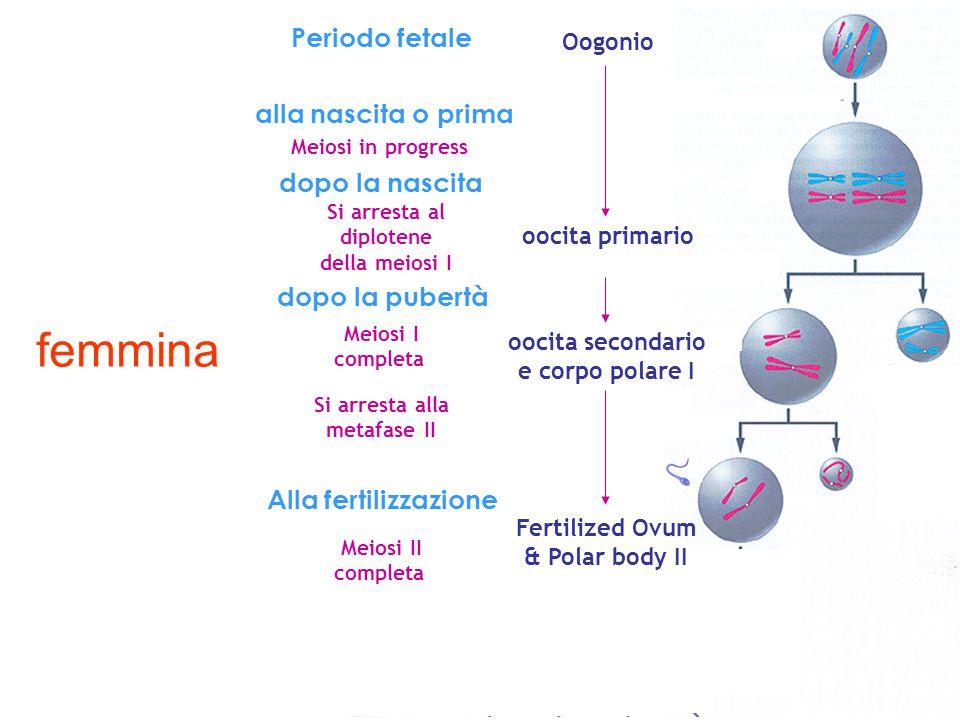 Mitosis Periodo fetale alla nascita o prima dopo la nascita dopo la pubertà Alla fertilizzazione Meiosi in progress Si arresta al diplotene della meio