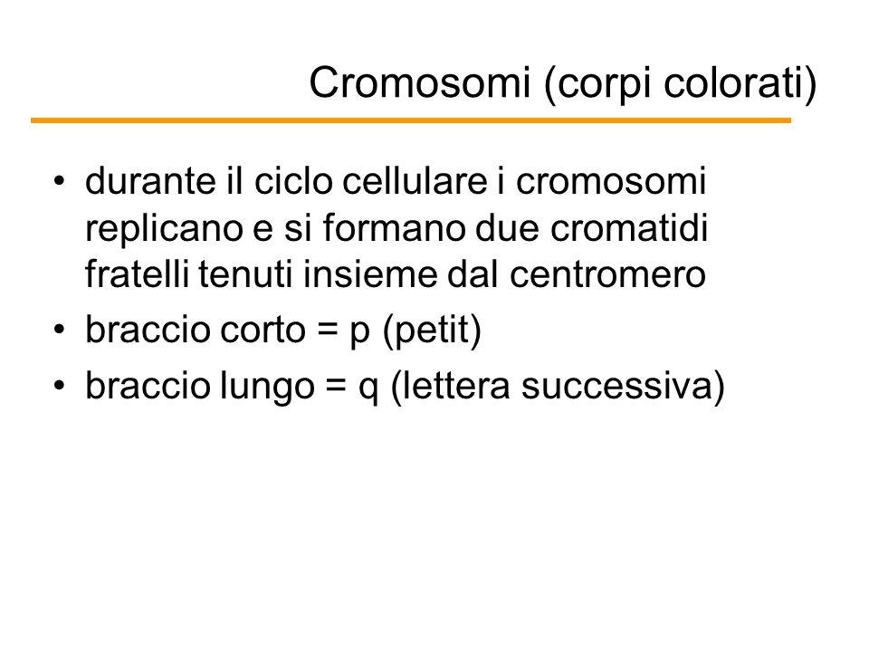Cromosomi (corpi colorati) durante il ciclo cellulare i cromosomi replicano e si formano due cromatidi fratelli tenuti insieme dal centromero braccio