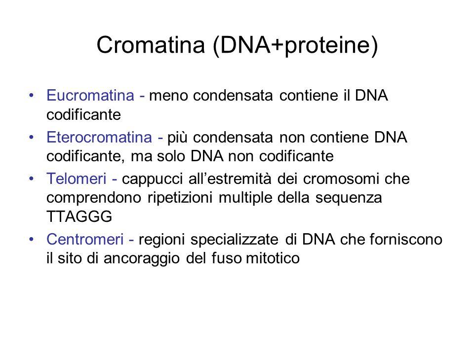 Cromatina (DNA+proteine) Eucromatina - meno condensata contiene il DNA codificante Eterocromatina - più condensata non contiene DNA codificante, ma so