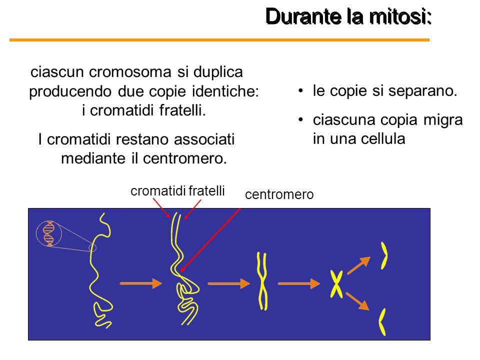 Durante la mitosi: centromero ciascun cromosoma si duplica producendo due copie identiche: i cromatidi fratelli. I cromatidi restano associati mediant