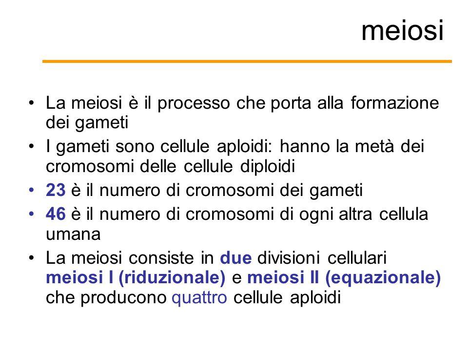 meiosi La meiosi è il processo che porta alla formazione dei gameti I gameti sono cellule aploidi: hanno la metà dei cromosomi delle cellule diploidi