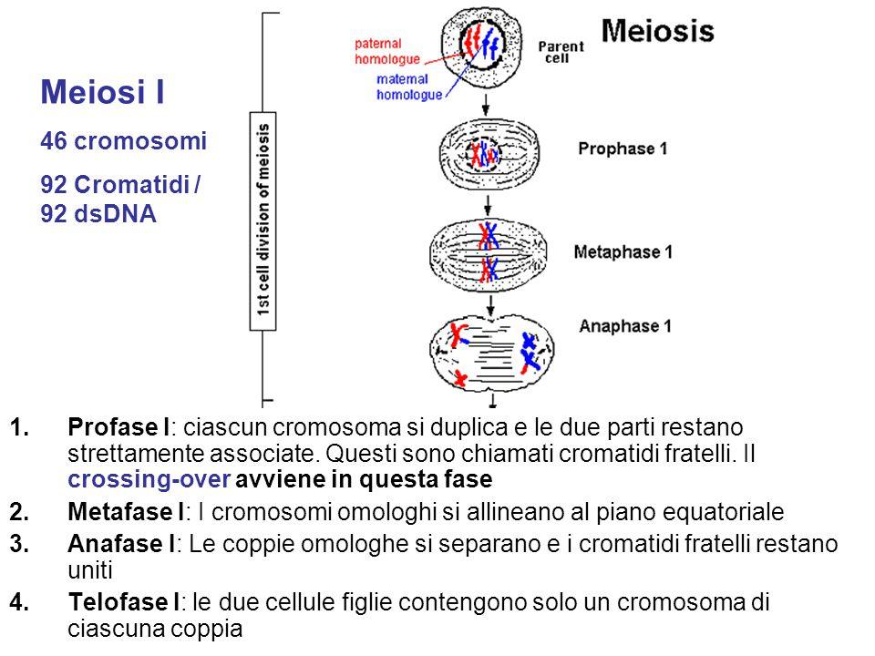 1.Profase I: ciascun cromosoma si duplica e le due parti restano strettamente associate. Questi sono chiamati cromatidi fratelli. Il crossing-over avv