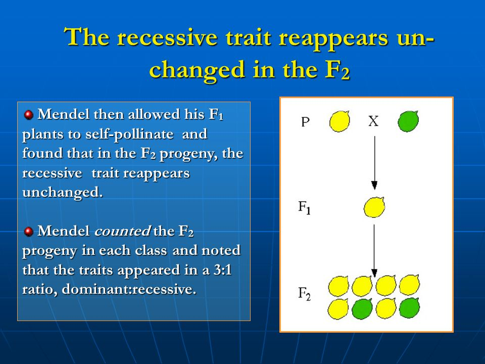 The recessive trait reappears un- changed in the F 2 Mendel then allowed his F 1 plants to self-pollinate and found that in the F 2 progeny, the reces