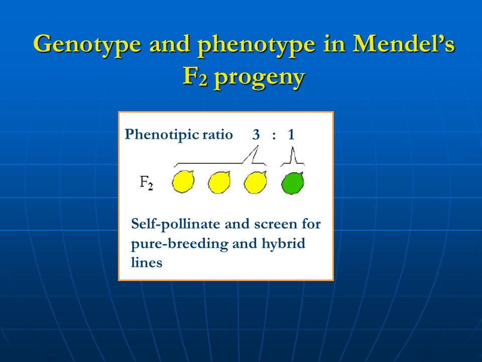 Genotype and phenotype in Mendel's F 2 progeny Phenotipic ratio 3 : 1 Self-pollinate and screen for pure-breeding and hybrid lines