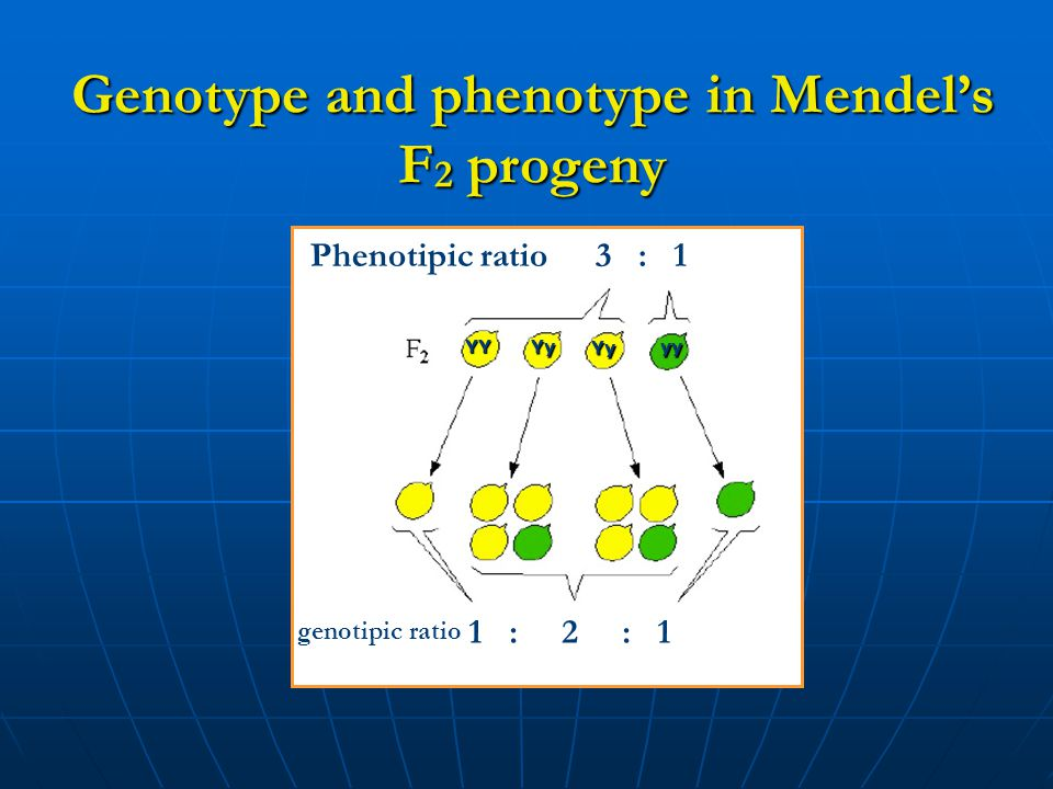 Genotype and phenotype in Mendel's F 2 progeny Phenotipic ratio3 : 1 genotipic ratio 1 : 2 : 1 YY Yy Yy yy