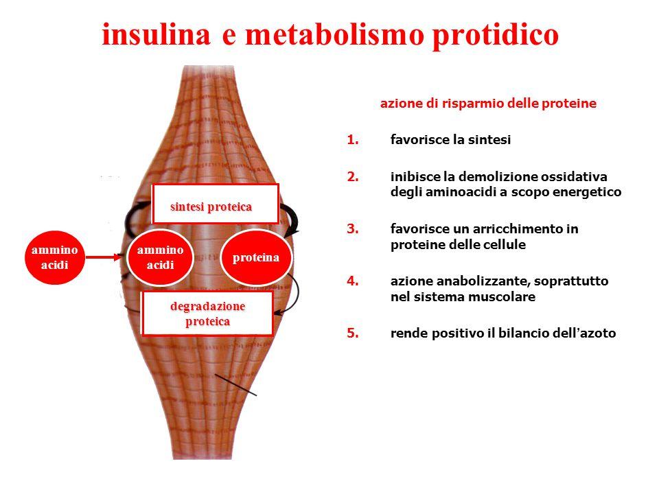 insulina e metabolismo protidico 1.facilita l ' ingresso degli aminoacidi nelle cellule, soprettutto di quelli essenziali, accrescendone la velocit à di trasporto transmembranario 2.favorisce la sintesi proteica, soprattutto nel tessuto muscolare, operando sia sui processi di trascrizione del DNA in RNA che su quelli di traduzione a livello ribosomiale 3.inibisce il catabolismo delle proteine, diminuendo l ' attivit à degli enzimi proteolitici lisosomiali 4.inibisce la gluconeogenesi, riducendo (soprattutto nel fegato) l ' attivit à degli enzimi deaminanti e transaminanti che catalizzano la trasformazione degli aminoacidi in chetoacidi, poi avviati alla sintesi di glucosio 5.gli effetti anabolici si esplicano anche nei tessuti cartilagineo e osseo dove facilita la formazione di collagene, soprattutto nel periodo dell ' accrescimento corporeo, definendo l ' insulina un ormone essenziale per il normale sviluppo somatico in sinergismo con l ' ormone ipofisario della crescita
