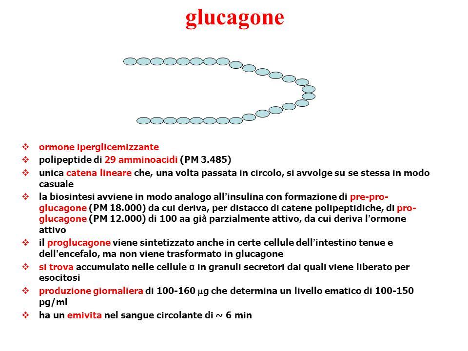 glucagone  ormone iperglicemizzante  polipeptide di 29 amminoacidi (PM 3.485)  unica catena lineare che, una volta passata in circolo, si avvolge s