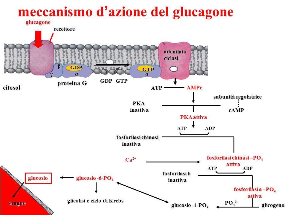 meccanismo d ' azione del glucagoneglucagonerecettore GDP β γα GDP GTP citosol proteina G GTP α adenilatociclasi ATP AMPc PKA PKAinattiva subunità reg