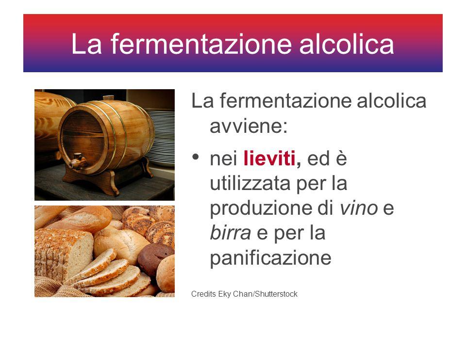 La fermentazione alcolica avviene: nei lieviti, ed è utilizzata per la produzione di vino e birra e per la panificazione La fermentazione alcolica Credits Eky Chan/Shutterstock