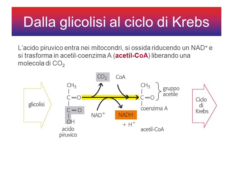 L'acido piruvico entra nei mitocondri, si ossida riducendo un NAD + e si trasforma in acetil-coenzima A (acetil-CoA) liberando una molecola di CO 2 Dalla glicolisi al ciclo di Krebs