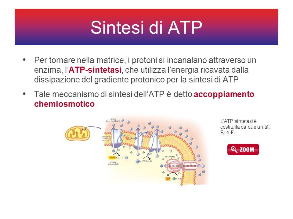 Per tornare nella matrice, i protoni si incanalano attraverso un enzima, l'ATP-sintetasi, che utilizza l'energia ricavata dalla dissipazione del gradiente protonico per la sintesi di ATP Tale meccanismo di sintesi dell'ATP è detto accoppiamento chemiosmotico Sintesi di ATP L'ATP-sintetasi è costituita da due unità: F 0 e F 1