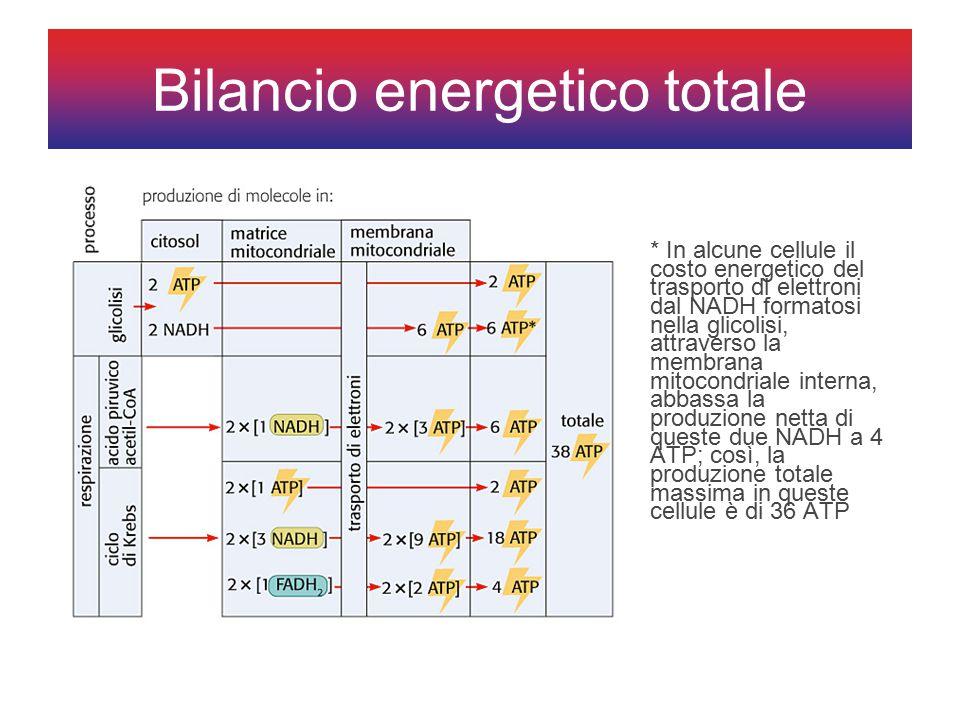 Bilancio energetico totale * In alcune cellule il costo energetico del trasporto di elettroni dal NADH formatosi nella glicolisi, attraverso la membrana mitocondriale interna, abbassa la produzione netta di queste due NADH a 4 ATP; così, la produzione totale massima in queste cellule è di 36 ATP
