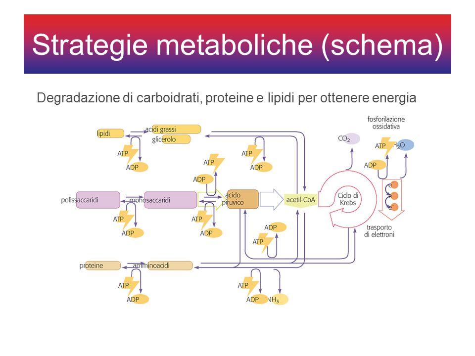 Degradazione di carboidrati, proteine e lipidi per ottenere energia Strategie metaboliche (schema)