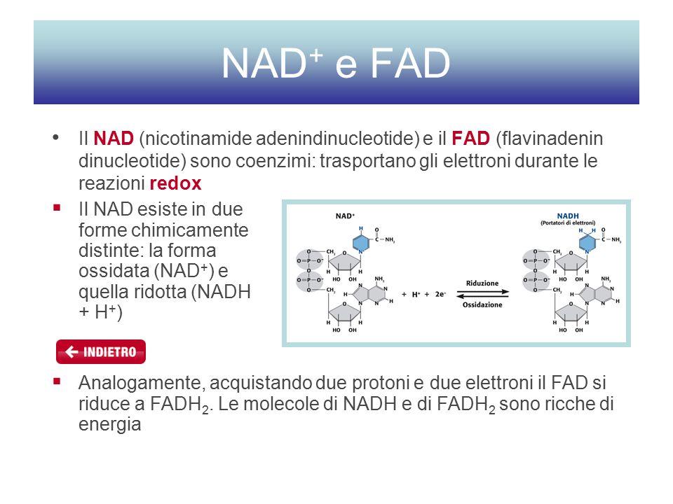 NAD + e FAD Il NAD (nicotinamide adenindinucleotide) e il FAD (flavinadenin dinucleotide) sono coenzimi: trasportano gli elettroni durante le reazioni redox  Analogamente, acquistando due protoni e due elettroni il FAD si riduce a FADH 2.