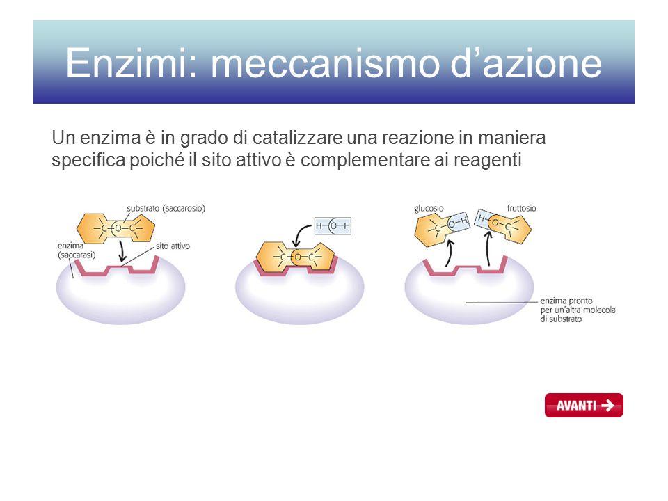 Enzimi: meccanismo d'azione Un enzima è in grado di catalizzare una reazione in maniera specifica poiché il sito attivo è complementare ai reagenti