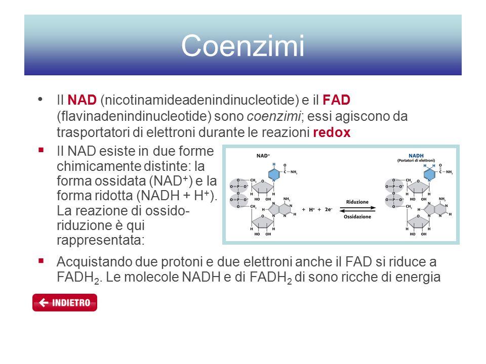 Coenzimi Il NAD (nicotinamideadenindinucleotide) e il FAD (flavinadenindinucleotide) sono coenzimi; essi agiscono da trasportatori di elettroni durante le reazioni redox  Il NAD esiste in due forme chimicamente distinte: la forma ossidata (NAD + ) e la forma ridotta (NADH + H + ).