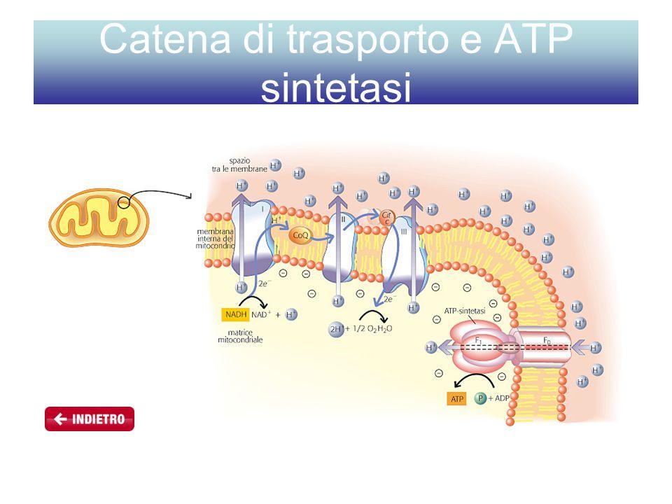 Catena di trasporto e ATP sintetasi