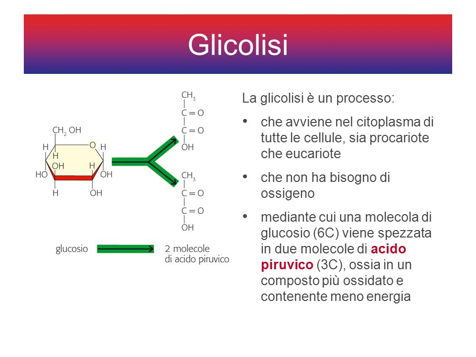 La glicolisi è un processo: che avviene nel citoplasma di tutte le cellule, sia procariote che eucariote che non ha bisogno di ossigeno mediante cui una molecola di glucosio (6C) viene spezzata in due molecole di acido piruvico (3C), ossia in un composto più ossidato e contenente meno energia Glicolisi