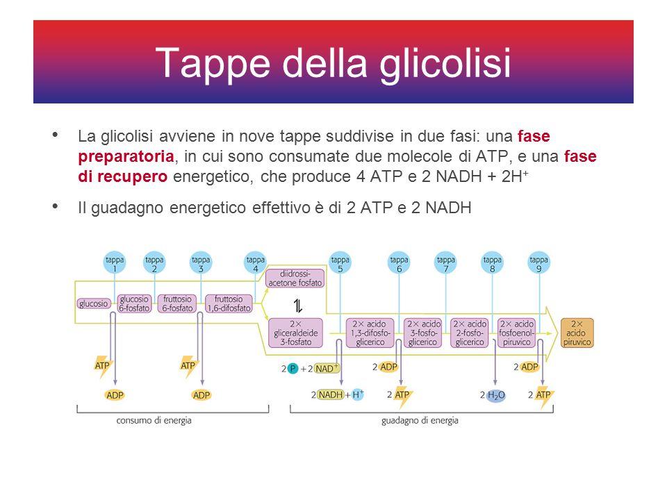 La glicolisi avviene in nove tappe suddivise in due fasi: una fase preparatoria, in cui sono consumate due molecole di ATP, e una fase di recupero energetico, che produce 4 ATP e 2 NADH + 2H + Il guadagno energetico effettivo è di 2 ATP e 2 NADH Tappe della glicolisi