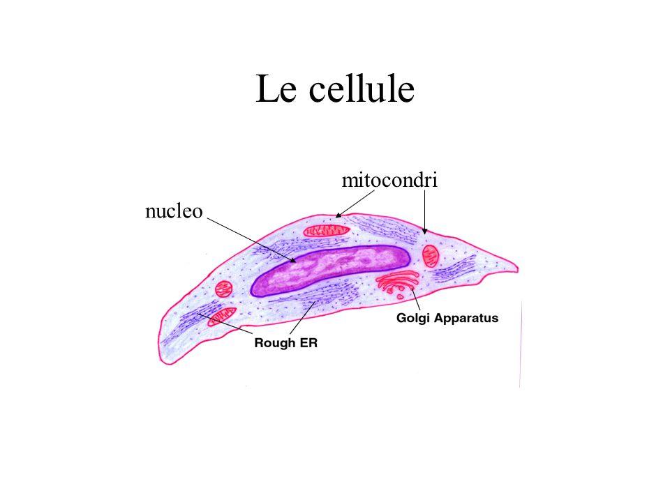 Le cellule nucleo mitocondri