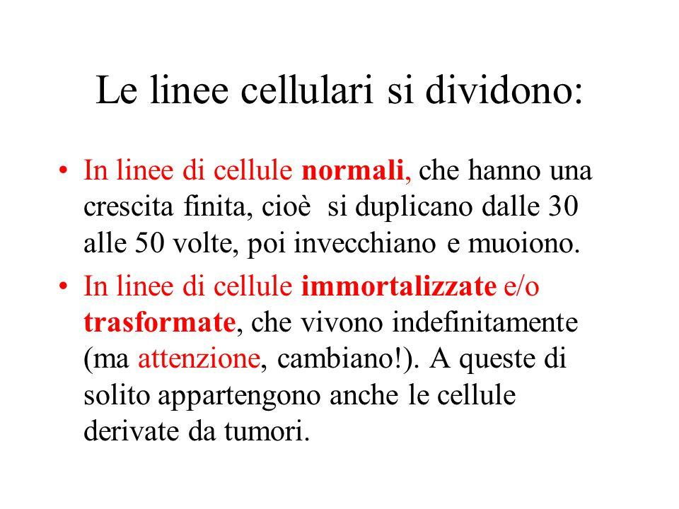 Le linee cellulari si dividono: In linee di cellule normali, che hanno una crescita finita, cioè si duplicano dalle 30 alle 50 volte, poi invecchiano