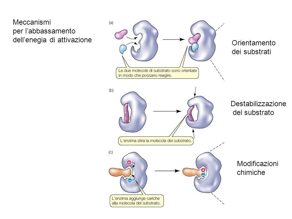 Meccanismi per l'abbassamento dell'enegia di attivazione Orientamento dei substrati Destabilizzazione del substrato Modificazioni chimiche