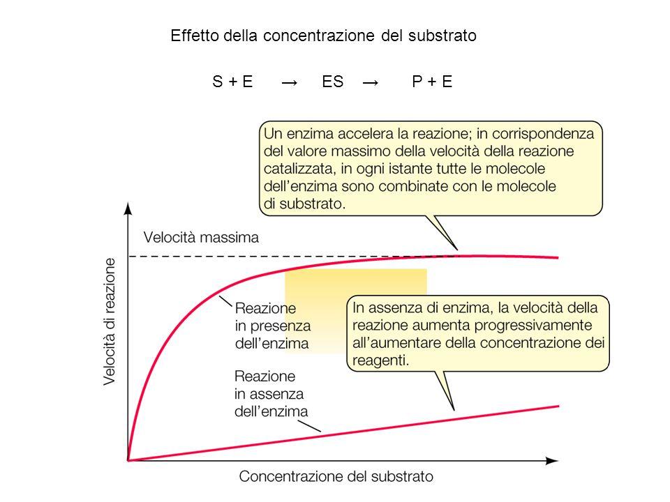 Effetto della concentrazione del substrato S + E → ES → P + E