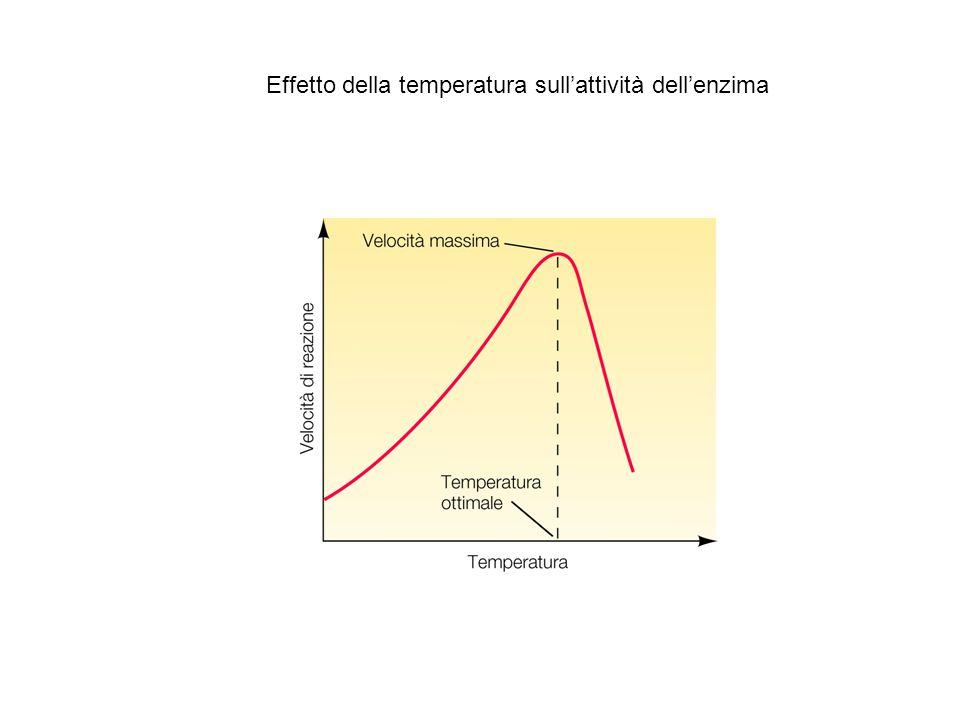 Effetto della temperatura sull'attività dell'enzima