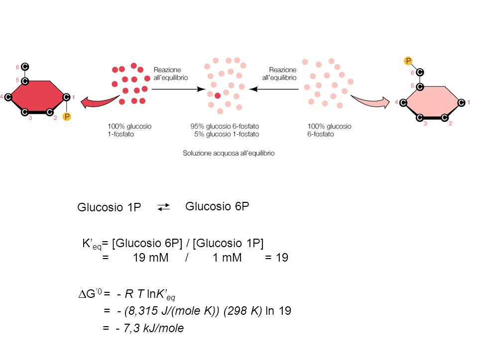 Glucosio 1P Glucosio 6P K' eq = [Glucosio 6P] / [Glucosio 1P] = 19 mM / 1 mM = 19  G '0 = - R T lnK' eq = - (8,315 J/(mole K)) (298 K) ln 19 = - 7,3