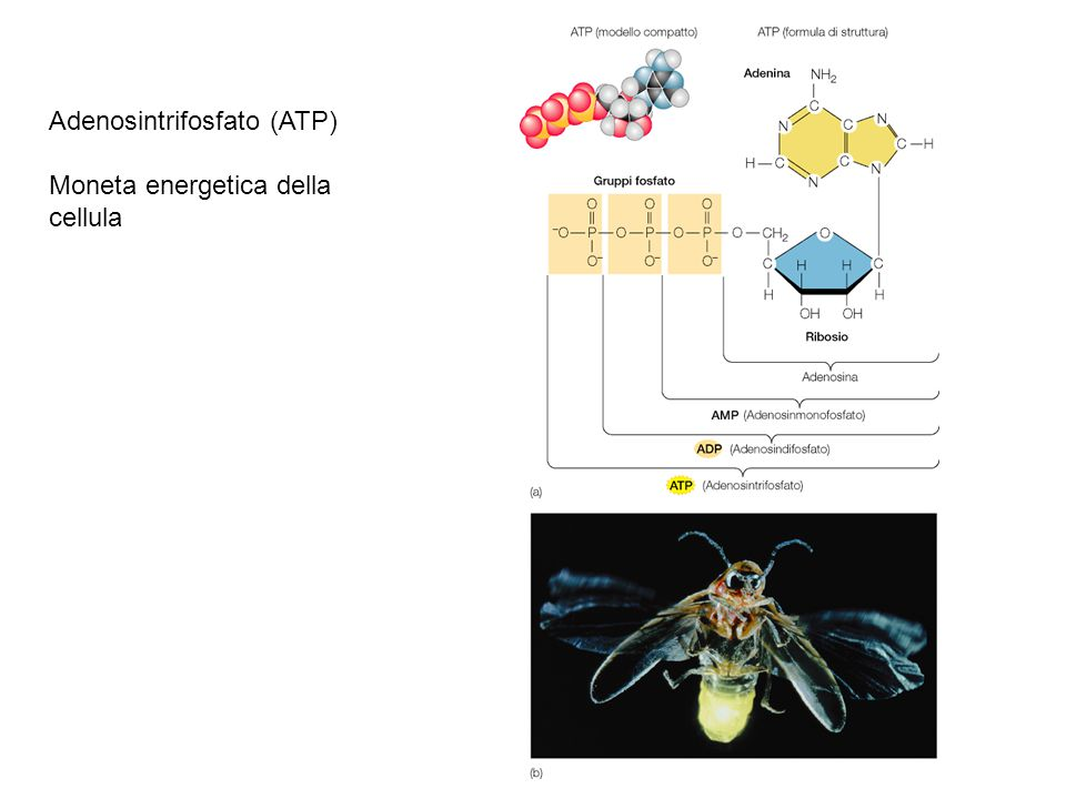 Adenosintrifosfato (ATP) Moneta energetica della cellula