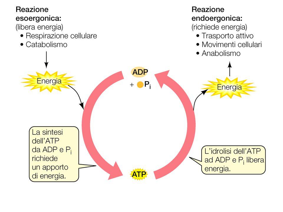 Classificazione ufficiale degli enzimi 1)Ossidoreduttasi– reazioni redox 2)Transferasi– trasferimento di gruppi 3)Idrolasi– reazioni di idrolisi 4)Liasi– traserimento di gruppi su doppi legami 5)Isomerasi– reazioni di isomerizzazione 6)Ligasi– formazione di legami con uso di ATP Ad ogni enzima viene assegnato un numero a 4 cifre dalla Enzyme Commission