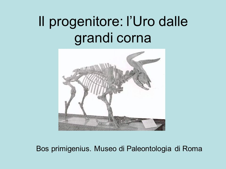 Il progenitore: l'Uro dalle grandi corna Bos primigenius. Museo di Paleontologia di Roma