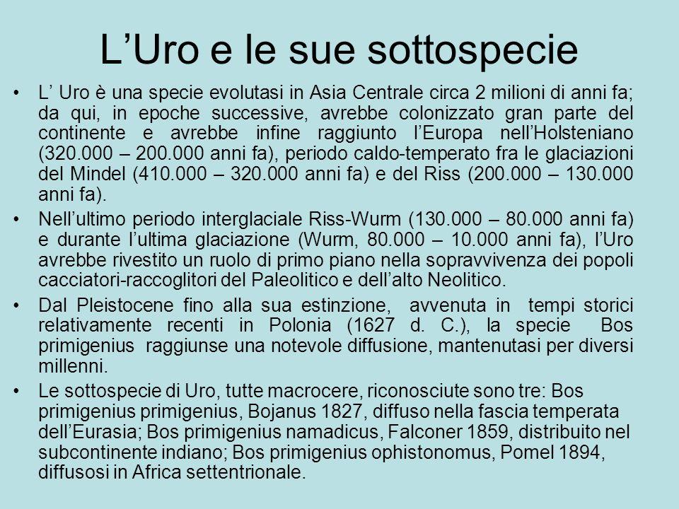 L'Uro e le sue sottospecie L' Uro è una specie evolutasi in Asia Centrale circa 2 milioni di anni fa; da qui, in epoche successive, avrebbe colonizzat