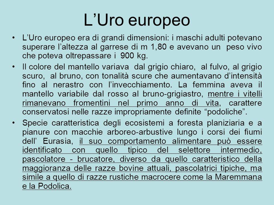 L'Uro europeo L'Uro europeo era di grandi dimensioni: i maschi adulti potevano superare l'altezza al garrese di m 1,80 e avevano un peso vivo che pote