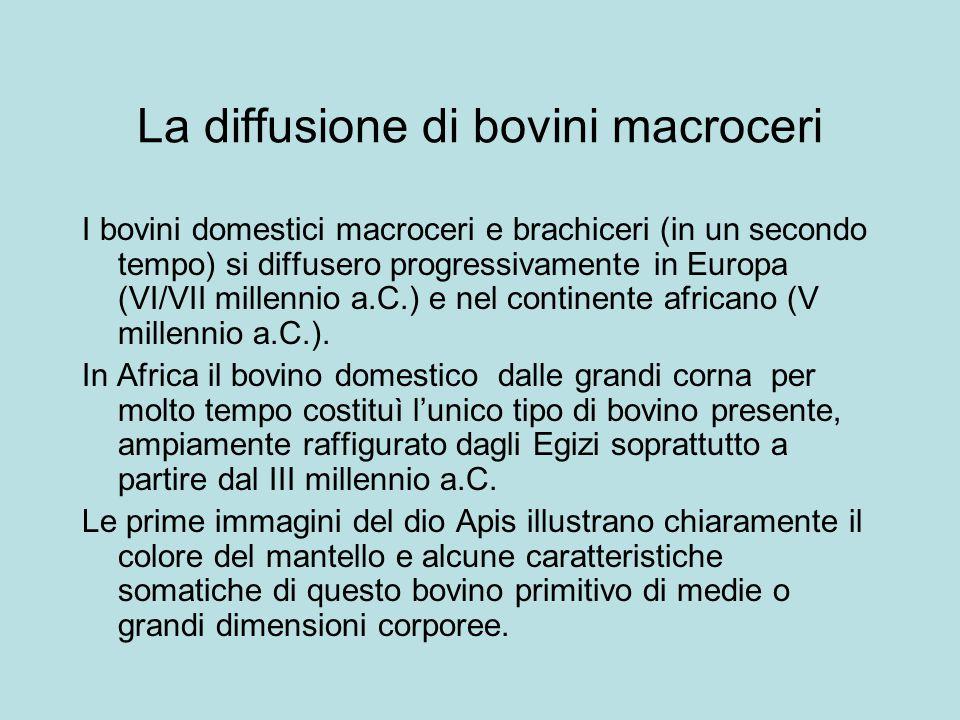 La diffusione di bovini macroceri I bovini domestici macroceri e brachiceri (in un secondo tempo) si diffusero progressivamente in Europa (VI/VII mill