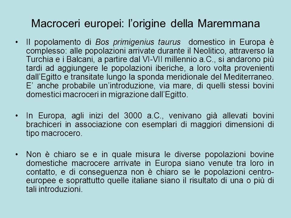 Macroceri europei: l'origine della Maremmana Il popolamento di Bos primigenius taurus domestico in Europa è complesso: alle popolazioni arrivate duran