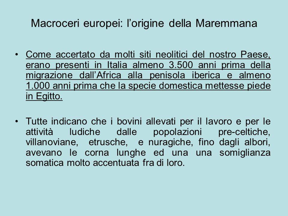 Macroceri europei: l'origine della Maremmana Come accertato da molti siti neolitici del nostro Paese, erano presenti in Italia almeno 3.500 anni prima